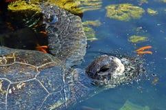 绿浪乌龟在埃拉特以色列 免版税库存照片