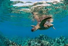 绿浪乌龟在毛伊,夏威夷 库存图片