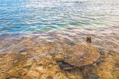 绿浪乌龟在海洋-毛伊,夏威夷 免版税库存图片