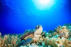 绿浪乌龟在热带水域中 库存图片