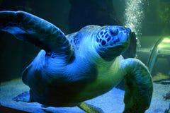 绿浪乌龟在Aqauarium 免版税图库摄影