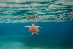 绿浪乌龟游泳在加勒比 免版税库存图片