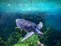 绿浪乌龟,从水中的看法 免版税库存照片