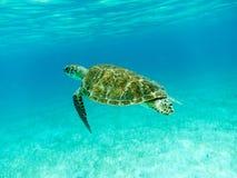 绿浪乌龟(海龟属mydas)游泳 库存图片