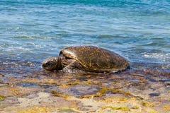 绿浪乌龟 免版税库存照片