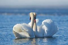 浪漫两只天鹅,爱的标志 库存图片