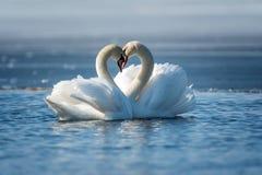 浪漫两只天鹅,爱的标志 免版税库存图片