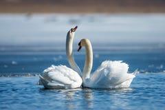 浪漫两只天鹅,爱的标志 免版税库存照片