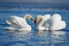 浪漫两只天鹅,爱的标志 库存照片