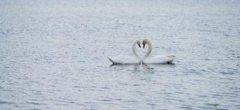 浪漫两只天鹅,爱 免版税库存照片