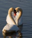 浪漫两只天鹅 水反射ob蓝色背景 免版税库存图片