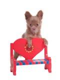 浪漫回到长凳的奇瓦瓦狗 库存照片