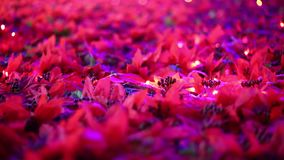 浪漫圣诞节装饰 一品红吹在微风的花田 影视素材