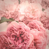 浪漫桃红色玫瑰的图象,葡萄酒传统化了与表面无光泽的作用 库存照片