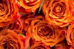 浪漫橙色玫瑰背景纹理  免版税库存图片