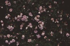 浪漫玫瑰,葡萄酒庭院 图库摄影