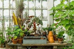 浪漫田园诗植物桌在有老减速火箭的赤土陶器花盆的温室里 免版税库存照片