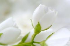 浪漫白色茉莉花开花特写镜头 免版税图库摄影