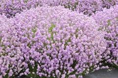 浪漫的淡紫色 免版税图库摄影