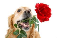 浪漫的狗 库存照片