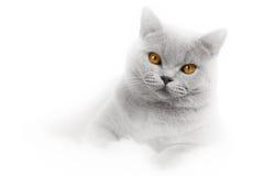 浪漫看板卡的猫 免版税图库摄影