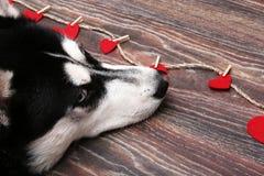 浪漫西伯利亚爱斯基摩人,黑白颜色狗与蓝眼睛的,看红色心脏 免版税图库摄影