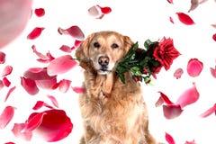浪漫金毛猎犬狗与在嘴上升了 免版税库存照片