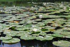 浪端的白色泡沫百合—四季不断的水生植物 Ðœontenegro 库存图片