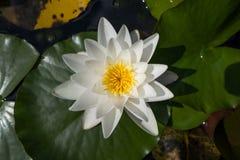 浪端的白色泡沫百合在植物园里 库存照片