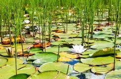 浪端的白色泡沫百合开花与大绿色叶子 图库摄影