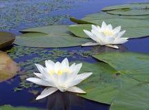 浪端的白色泡沫百合或星莲属晨曲第聂伯河 库存图片