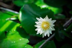 浪端的白色泡沫百合或白莲教花在水池 免版税库存图片