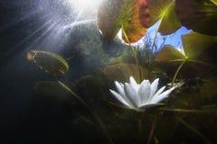 浪端的白色泡沫百合黄睡莲lutea 库存图片