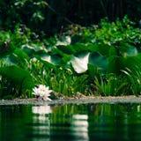 浪端的白色泡沫百合 免版税库存照片