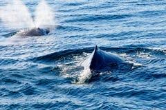 浮出水面和喷洒水的两条驼背鲸通过blowhol 库存图片