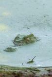 浮出水面通过海藻的鳄鱼 库存图片