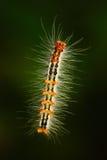 浮动与刺毛的毛虫 从斯里兰卡,亚洲的毛虫 毛虫在自然绿色栖所 野生生物场面从 免版税库存图片