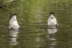 浮动为食物的两只加拿大鹅在湖 图库摄影