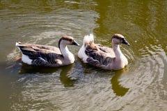 浮动二的鸭子 免版税库存照片