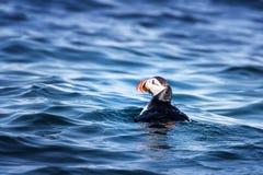 浮动在凉水的大西洋海鹦在离斯瓦尔巴特群岛的附近海岸  免版税库存照片