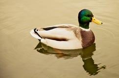 浮动在池塘的鸭子 免版税库存图片