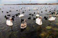 浮动在海运的天鹅和许多黑海鸭子 免版税库存图片