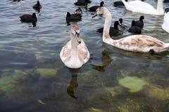 浮动在海运的天鹅和许多黑海鸭子 库存照片