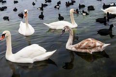 浮动在海运的天鹅和许多黑海鸭子 库存图片