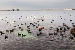 浮动在海运的天鹅和许多黑海鸭子 免版税库存照片