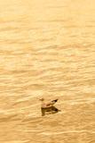 浮动在海运的海鸥在日落 免版税库存照片