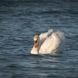 浮动在水的空白天鹅 免版税库存图片