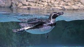 浮动无忧无虑的企鹅 免版税库存照片