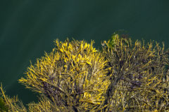 浮动海海带 免版税库存照片