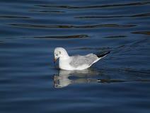 浮动海鸥 库存图片